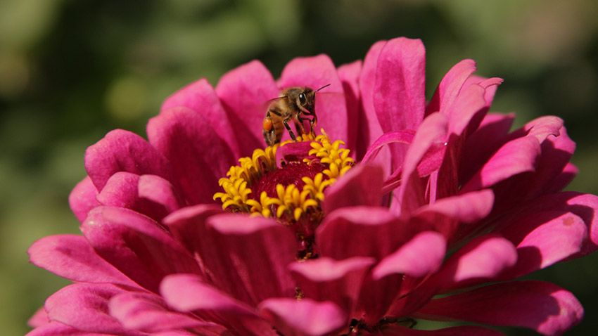 zinnia and bee by ckoonce