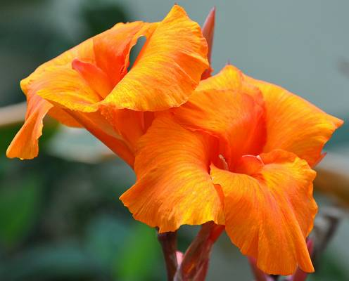orange beauty canna w