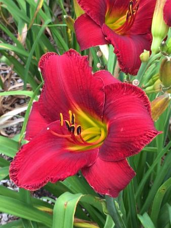Japanese Royal Daylily
