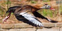 Whistler Duck