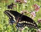 Black Swallotail Butterfly