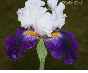 Walk in Cloud iris